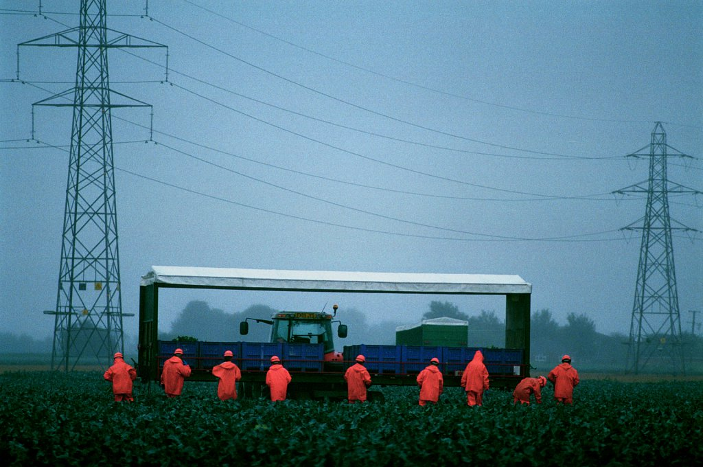 Migrant workers harvesting cabbages near Boston, Lincolnshire during a rainstorm.